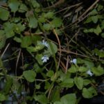 Image Related To Clinopodium brownei (Browne's Savory)