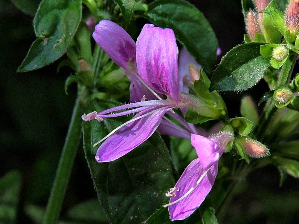 Image Related To Dicliptera brachiata (Branched Foldwing)