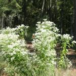 Image Related To Eupatorium perfoliatum (Boneset)