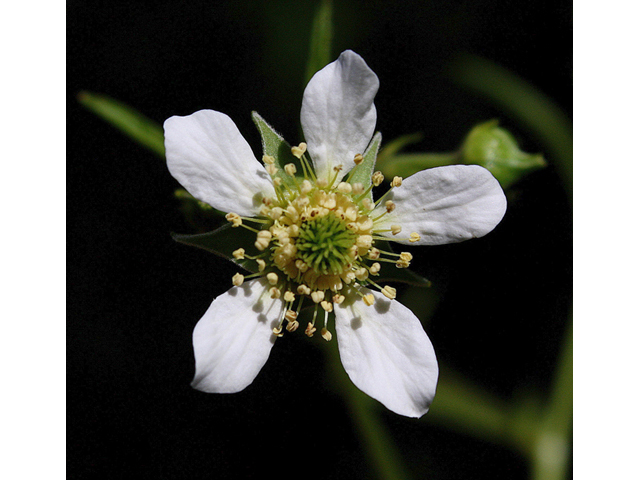 Image Related To Geum canadense (Canada Avens)