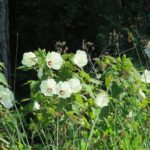 Image Related To Hibiscus moscheutos (Eastern Rose-mallow)