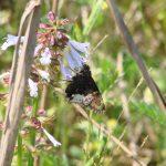 Salvia lyrata (Lyreleaf Sage)