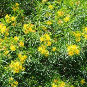 Hypericum densiflorum (Coastal Plain Bushy St. John's Wort )