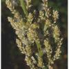 Image Related To Iresine rhizomatosa (Juda's Bush)