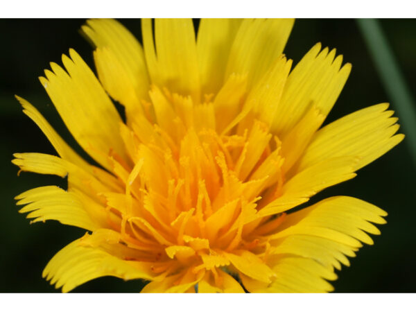 Image Related To Krigia dandelion (Potato Dandelion)