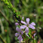 Image Related To Lythrum lanceolatum / Lythrum alatum var. lanceolatum (Southern Winged Loosestrife)