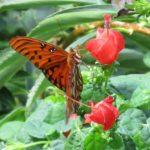 Malvaviscus drummondii (Drummond's Turkscap)