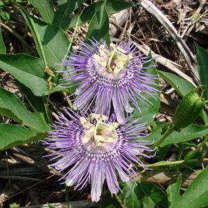 Passiflora incarnata (Maypop or Native Passionflower)
