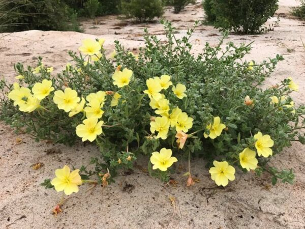 Image Related To Oenothera drummondii (Seabeach Evening-primrose )
