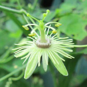 """Passiflora lutea (Yellow Passionflower) 3.5"""""""