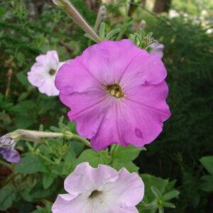 Petunia x hybrida (Old-fashioned Reseeding Petunia)