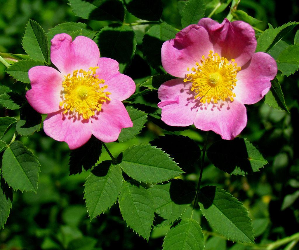 Image Related To Rosa carolina (Carolina Rose)