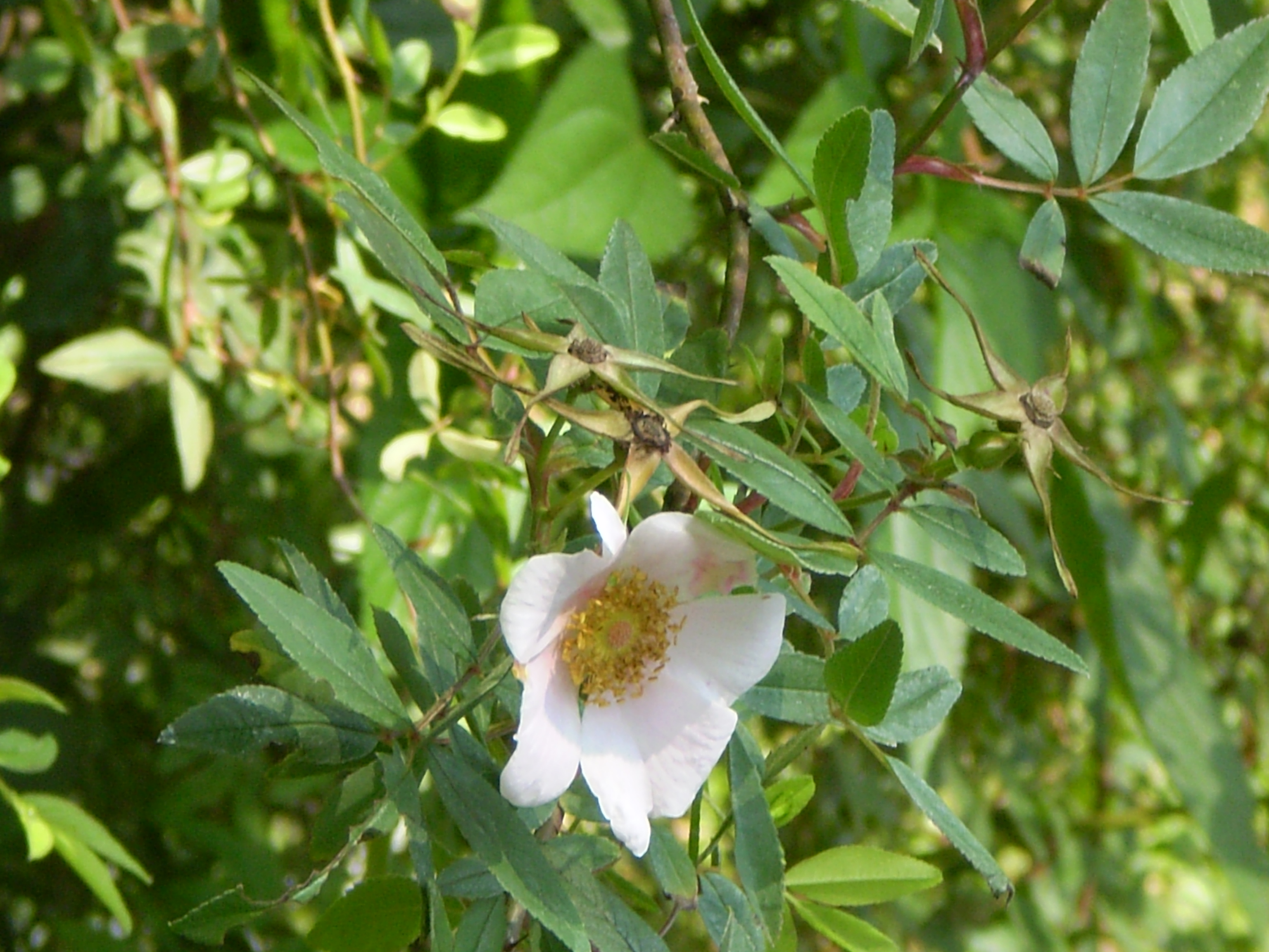 Image Related To Rosa palustris (Swamp Rose)