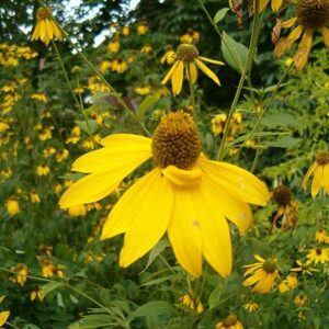 Rudbeckia laciniata (Cut-leaf Coneflower)