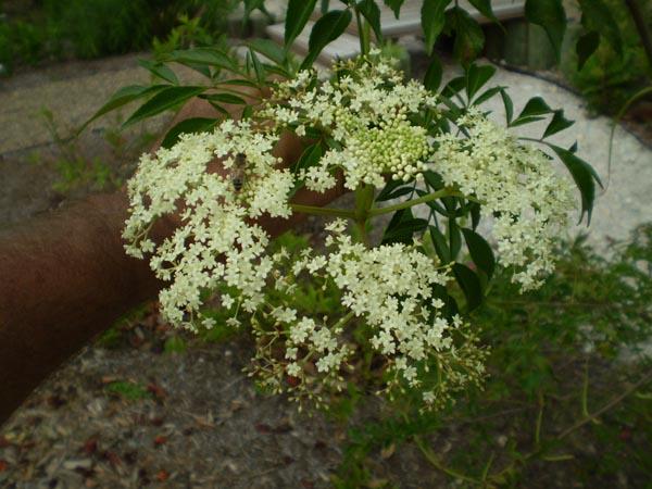 Image Related To Sambucus canadensis  Common Elderberry)