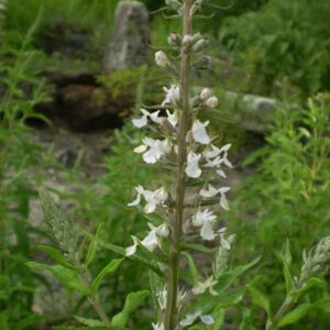Teucrium canadense (Wood Sage or American Germander)