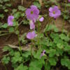 Image Related To Oxalis violacea (Violet Woodsorrel)