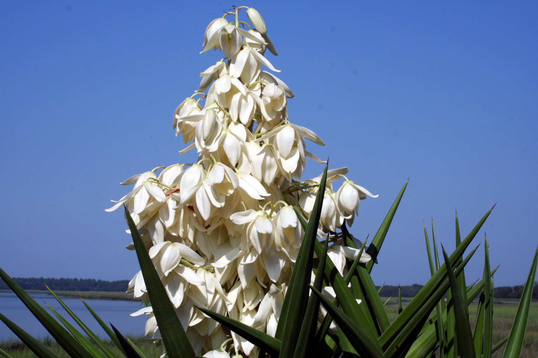 Image Related To Yucca gloriosa (Moundlily Yucca)