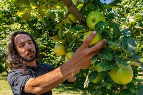 Caucasian man with long hair picking ripe green and fresh apple fruit from tree branch on the orchard, selective focus on his hand, apples and leaves