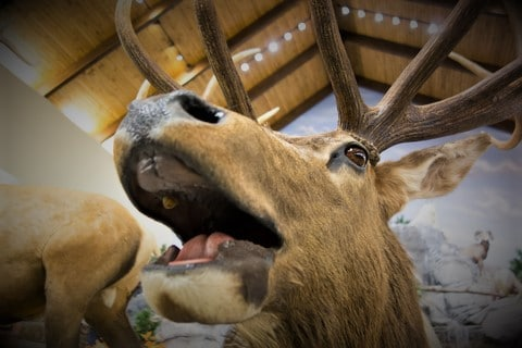 taxidermy stuffed deer buck