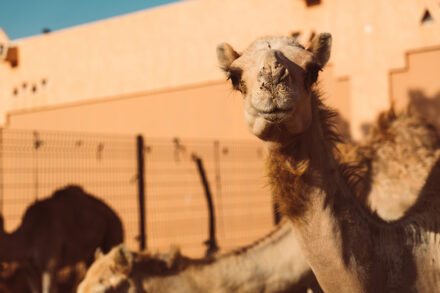 Local camel market in Al Ain, Emirates
