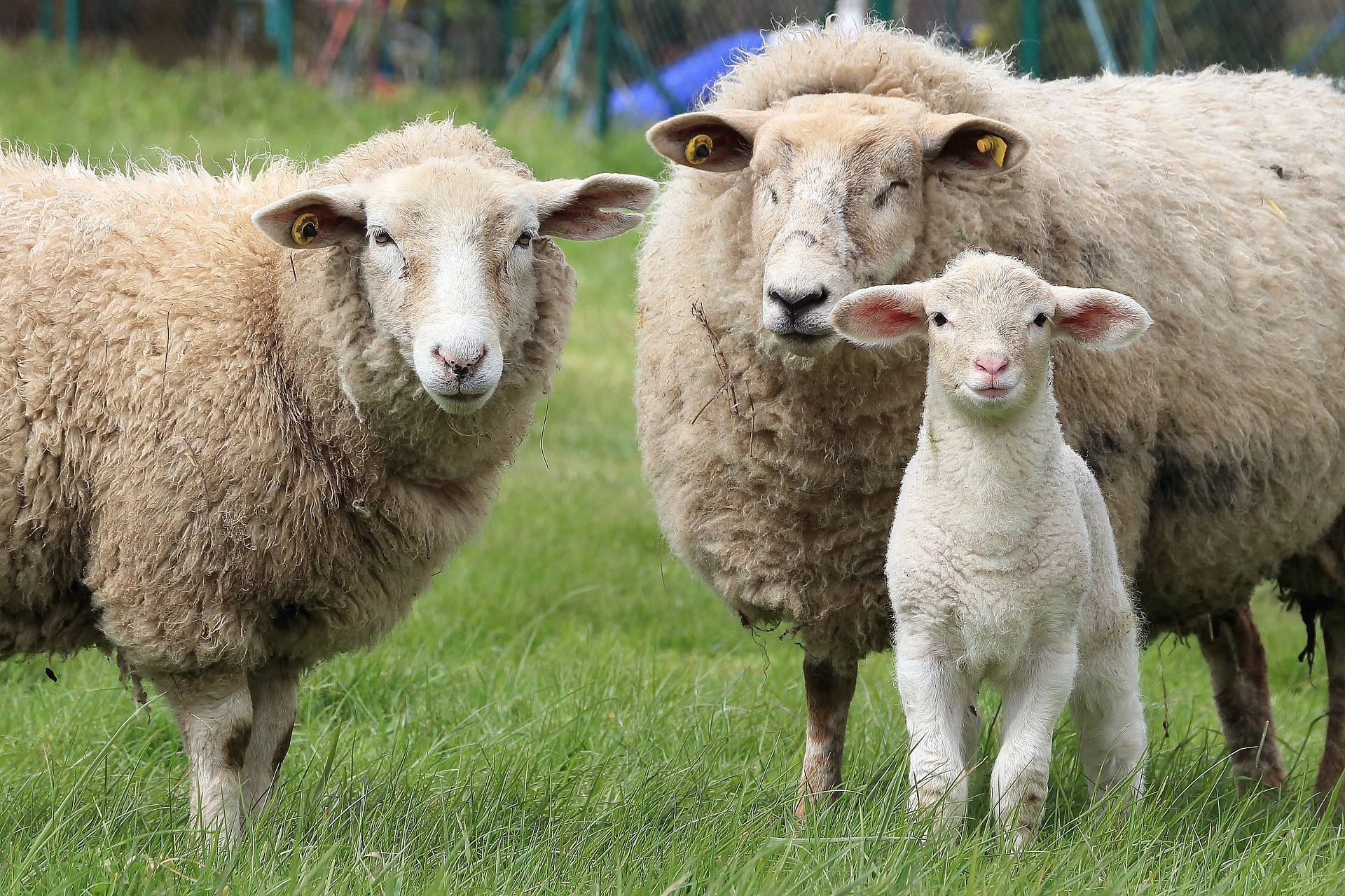 photo of lamb and two ewes