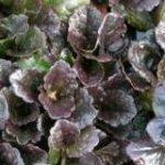 Ajuga Catlins Giant