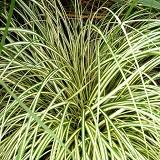 Grass Evergold