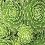 Sempervivum Green Wheel