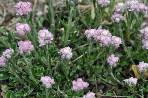Antennaria Pink Pussytoes