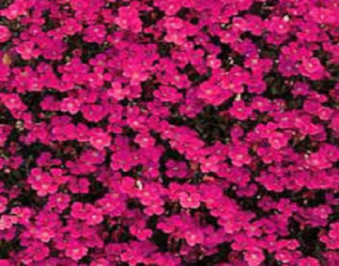 Aubrietia Red Cascade