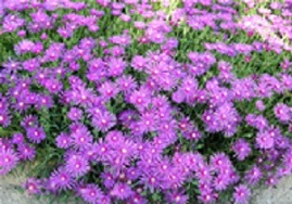 Delosperma Purple