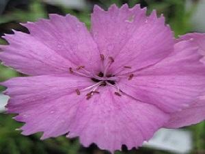 Dianthus Rupert's Pink