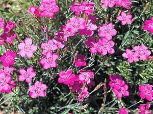 Dianthus Zing Rose