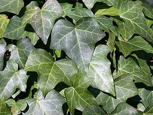 Hedera English Ivy