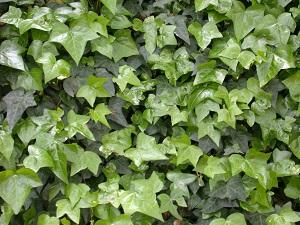Hedera Hahns Ivy