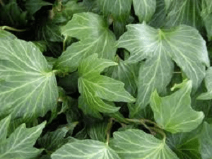 Hedera Rippleleaf Ivy