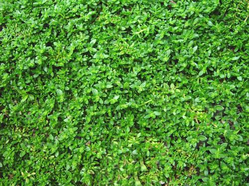 Herniaria Green Carpet