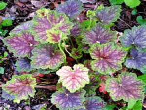 Heuchera Marvelous Marble