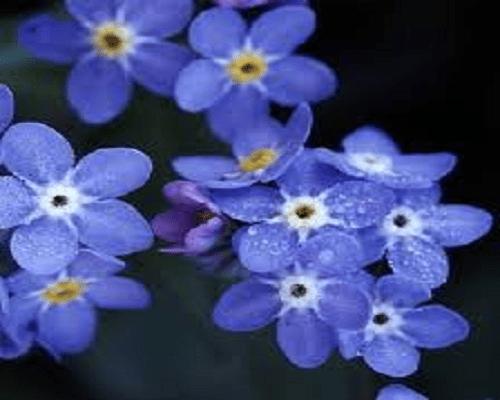 Myosotis Bluesylva