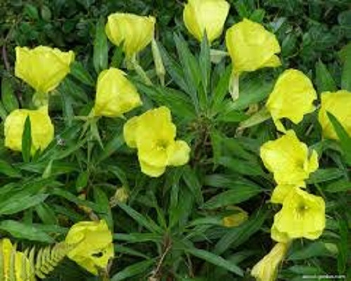 Oenothera Missouiensis