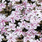 Phlox Candy Stripe