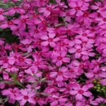 Phlox Emerald Pink