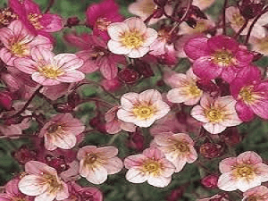 Saxifraga Highlander Rose Shades