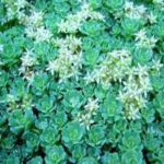 Sedum White Diamond