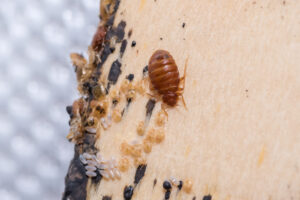 Bed Bugs on bed slates