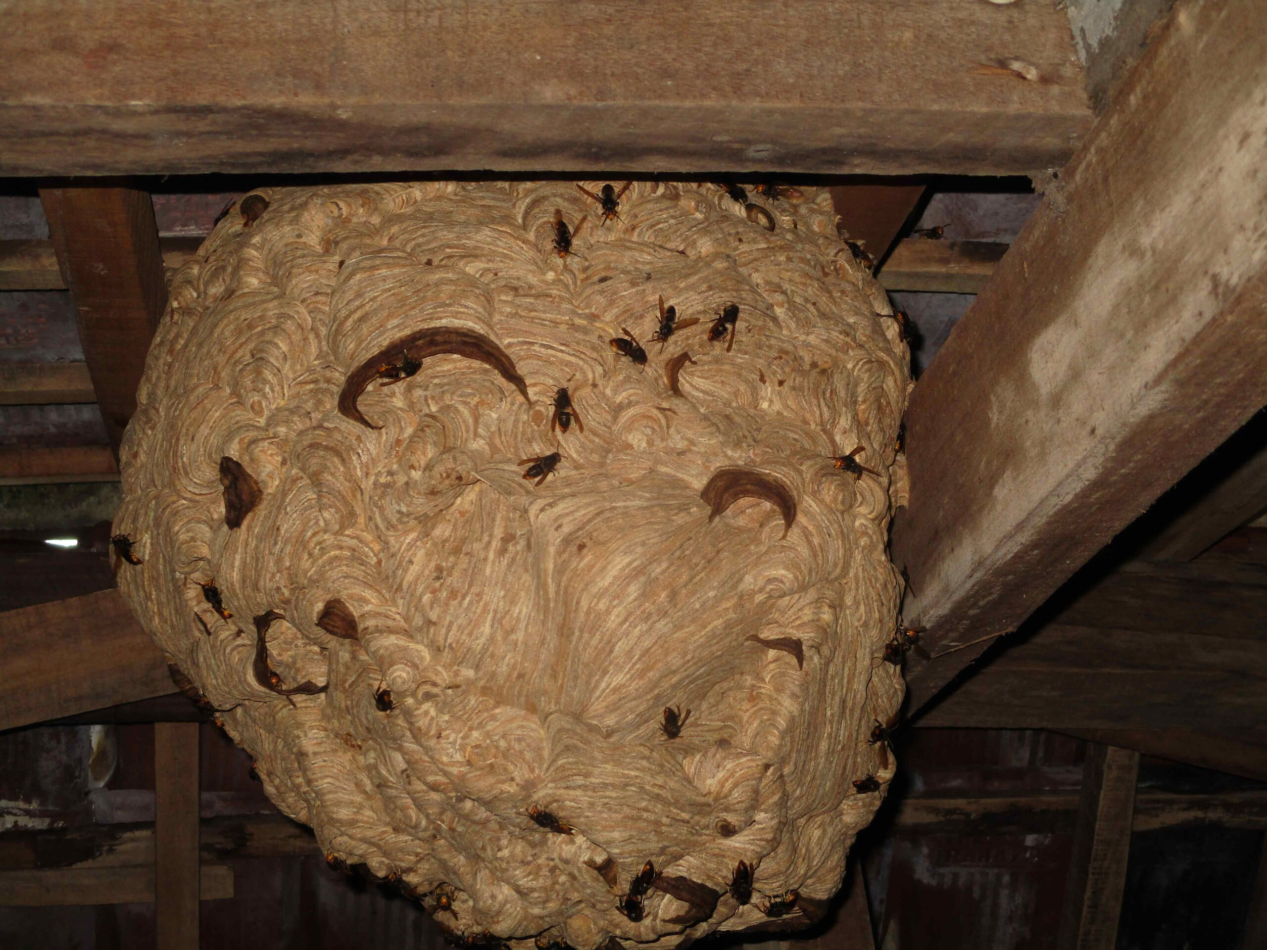 Wasp nest on ceiling of house