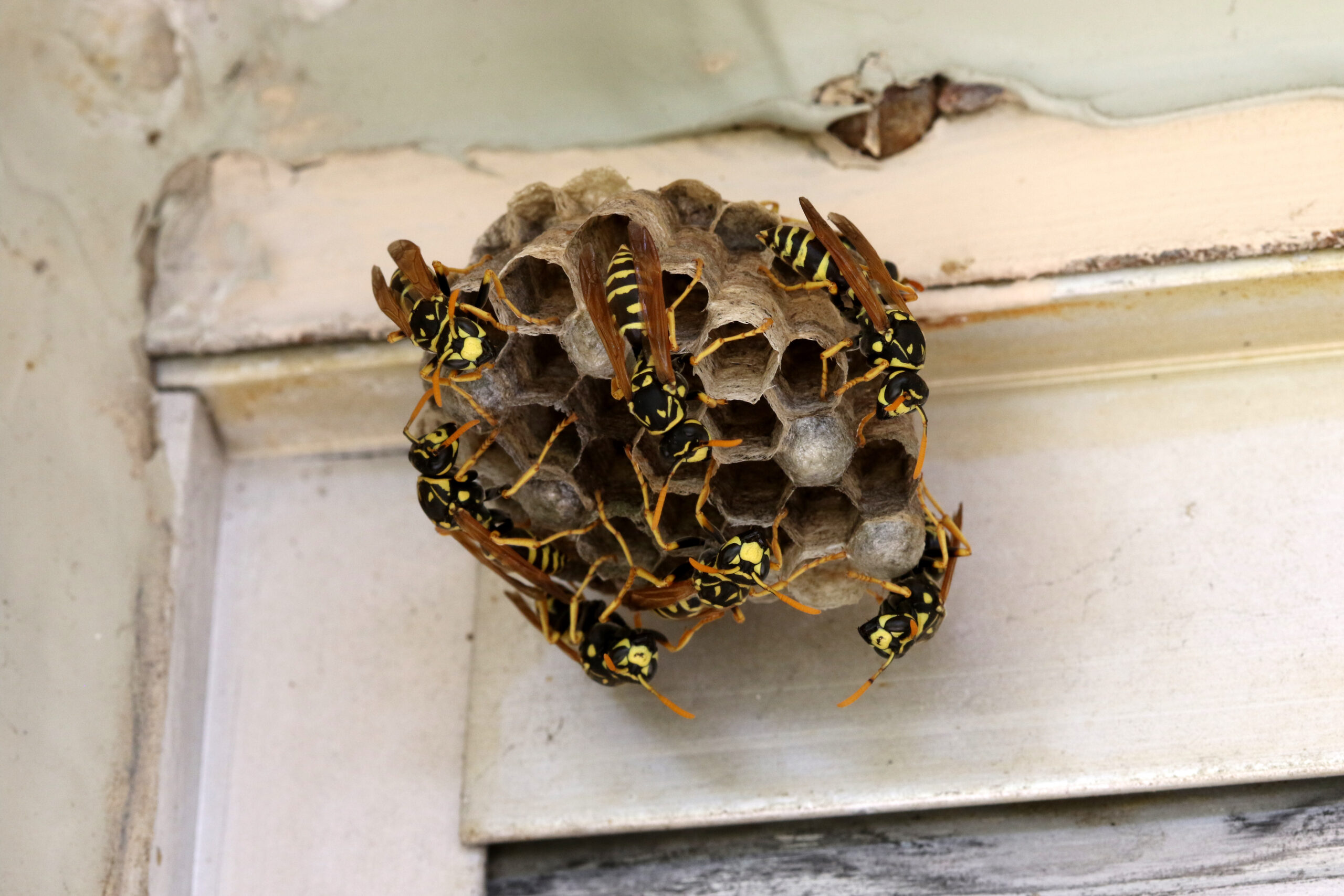 Bees crawling on a paper nest.