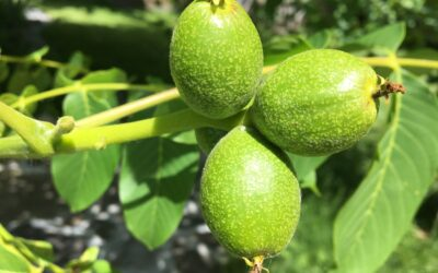 Green Walnut Weekend