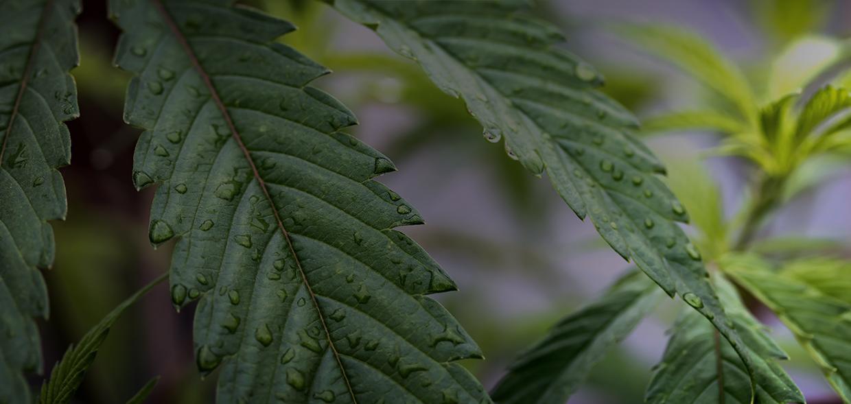 CannabisOne | Weed Plants